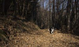 Porträt eines border collie-Welpen im Wald Lizenzfreie Stockbilder