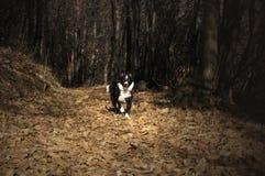 Porträt eines border collie-Welpen im Wald Lizenzfreies Stockfoto