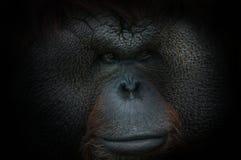 Porträt eines Bornean-Orang-Utans auf Schwarzem Lizenzfreie Stockfotos