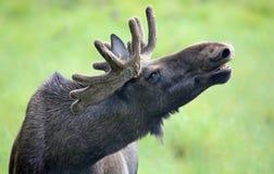 Porträt eines Brüllen Elchstiers (Alces Alces) Stockfotografie