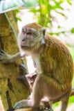 Porträt eines braunen Affen mit traurigen Augen Lizenzfreie Stockfotografie