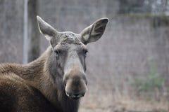 Porträt eines braunen europäischen Elchs in einem Park in Kassel, Deutschland stockfotografie
