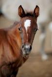 Porträt eines braunen Fohlens. Lizenzfreies Stockbild
