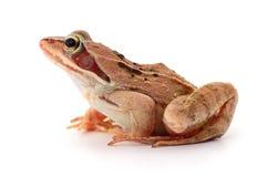 Porträt eines braunen Frosches Lizenzfreie Stockfotografie
