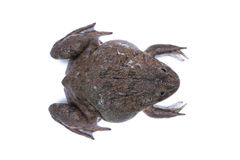 Porträt eines braunen Frosches Stockbilder