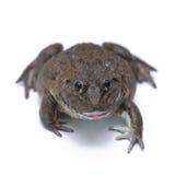 Porträt eines braunen Frosches Stockfotografie