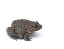 Porträt eines braunen Frosches Lizenzfreies Stockfoto