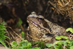 Porträt eines braunen Frosches Lizenzfreie Stockbilder
