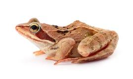 Porträt eines braunen Frosches Lizenzfreies Stockbild