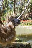 Porträt eines braunen haarigen Kamels lizenzfreie stockfotografie