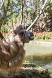 Porträt eines braunen haarigen Kamels stockfotografie