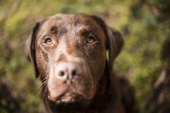Porträt eines braunen Labrador-Hundes draußen Stockbilder