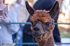 Porträt eines braunen Lamas mit einem Nasenriemen lizenzfreies stockbild