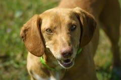 Porträt eines braunen nicht reinrassigen Hundes mit honigfarbenen Augen stockbilder