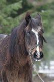Porträt eines braunen Pferds Stockfotos