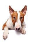 Porträt eines Bullterriers stockfotos