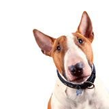 Porträt eines Bullterriers lizenzfreie stockfotos