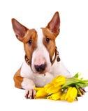 Porträt eines Bullterriers mit Tulpen. lizenzfreies stockbild