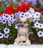 Porträt eines Chinese Crested-Hundes in der Straße in den Blumen Lizenzfreie Stockfotografie