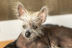 Porträt eines chinesischen unbehaarten Hundes Stockfotografie