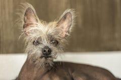 Porträt eines chinesischen unbehaarten Hundes Lizenzfreies Stockbild