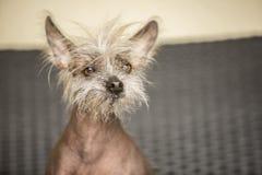 Porträt eines chinesischen unbehaarten Hundes Stockfotos