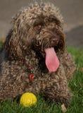 Porträt eines Cockapoo-Hundes Lizenzfreie Stockbilder