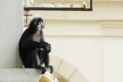 Porträt eines düsteren Blatt-Affen Stockbilder