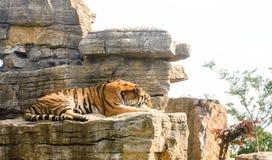 Porträt eines der Pantheratigris-altaica sibirischer Tiger Brüllens Lizenzfreie Stockfotografie