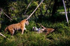 Porträt eines der Pantheratigris-altaica sibirischer Tiger Brüllens Stockfotos