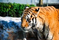 Porträt eines der Pantheratigris-altaica sibirischer Tiger Brüllens Lizenzfreies Stockbild