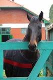 Porträt eines dunkelbraunen Pferds Lizenzfreie Stockfotos