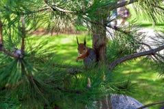 Porträt eines Eichhörnchens auf Kiefernniederlassung Stockfotografie