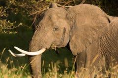 Porträt eines Elefanten, der auf Bissen Gras, Tansania kaut stockbild
