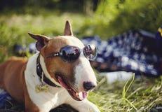 Porträt eines englischen Bullterriers in der Sonnenbrille draußen lizenzfreie stockfotos