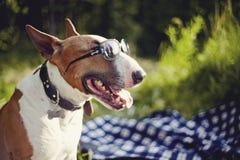 Porträt eines englischen Bullterriers in der Sonnenbrille draußen stockfoto