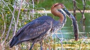 Porträt eines erfüllten Vogels Goliath-Reiher mit Fischen Baringo See, Kenia stockfotografie