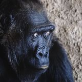 Porträt eines erschrockenen Affen Mähen seiner Augen lizenzfreie stockbilder