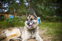 Porträt eines erwachsenen Hundes auf der Natur Mischschäfer und Schlittenhund Lizenzfreie Stockfotos