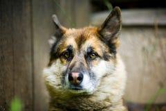 Porträt eines erwachsenen Hundes auf der Natur Mischschäfer und Schlittenhund Stockbild
