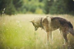 Porträt eines erwachsenen Hundes auf der Natur Mischschäfer und Schlittenhund Lizenzfreies Stockfoto