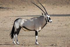 Porträt eines erwachsenen männlichen Gemsbok, Oryx Gazella stockbild