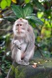 Porträt eines erwachsenen Makakens auf einem Stein stockbild