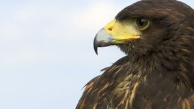 Porträt eines Falken stock video footage