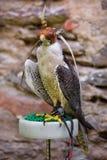 Porträt eines Falken Stockfotografie