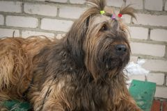 Porträt eines französischen Schäfers - Briard Nahaufnahme hunde stockbild