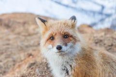 Porträt eines Fuchses Stockbild