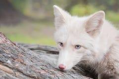 Porträt eines Fuchses die Farbe ist weiß Stockfotografie