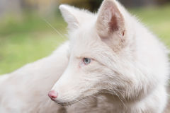 Porträt eines Fuchses die Farbe ist weiß Lizenzfreie Stockfotografie
