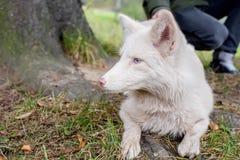 Porträt eines Fuchses die Farbe ist weiß Herbstlicher Wald Lizenzfreie Stockfotografie